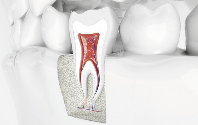 Querschnitt eines Zahns mit Zahnwurzel neben normalen Zähnen